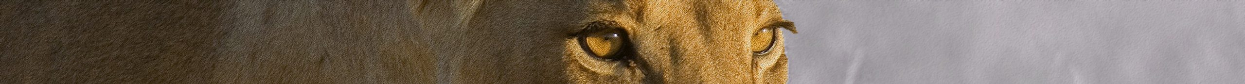 Lioness looking pensive